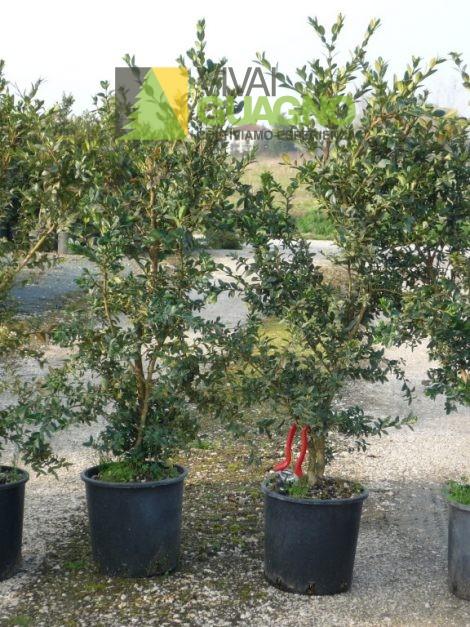 "Buxus sempervirens ""Robusta"""