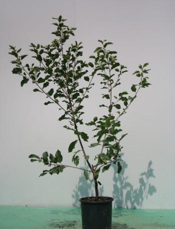 Il Rhamnus frangula è indicata per siepi e giardini spontanei o a bosco. Viene utilizzato anche in ripristini ambientali. E' una pianta mellifera.