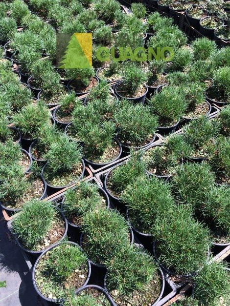 Pinus Mugo U201cMughusu201d