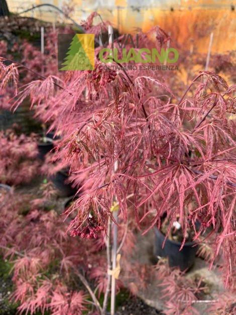 """Acer Palmatum """"Dissectum Garnet"""""""