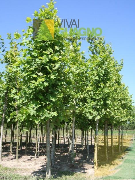 Platanus x acerifolia