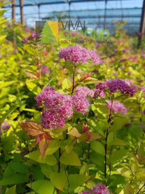 "Spiraea japonica ""Firelight"""