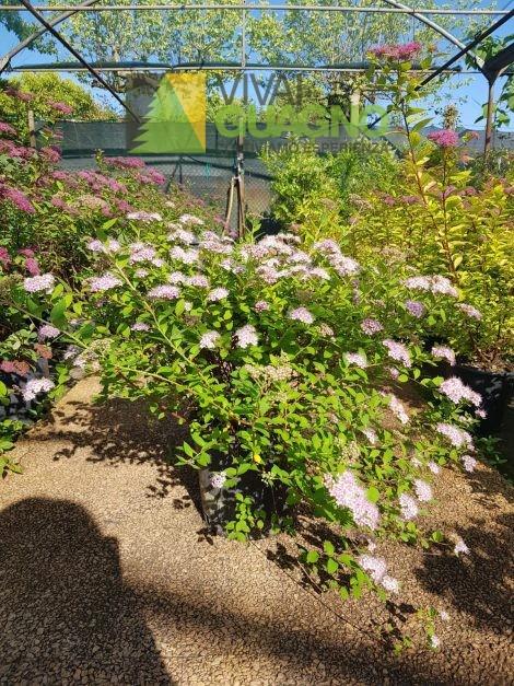 """Spiraea japonica """"Little Princess"""""""