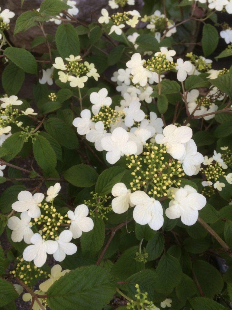cespugli fioriti Viburnum plicatum watanabe fiore