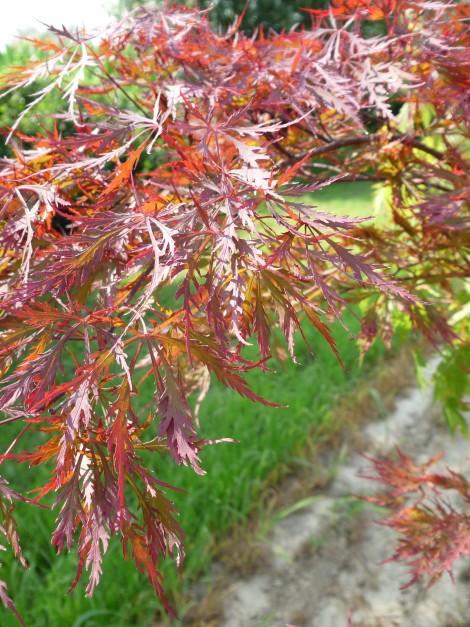 """Acer palmatum """"Dissectum Atropurpureum"""""""