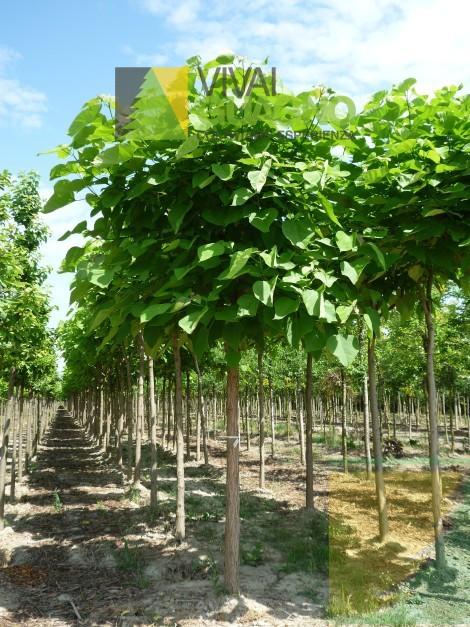 Catalpa bignonioides albero dei sigari catalpa vivai ivano guagno - Prezzi piante da giardino on line ...