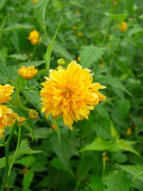Kerria japonica kerria vivai ivano guagno for Kerria japonica