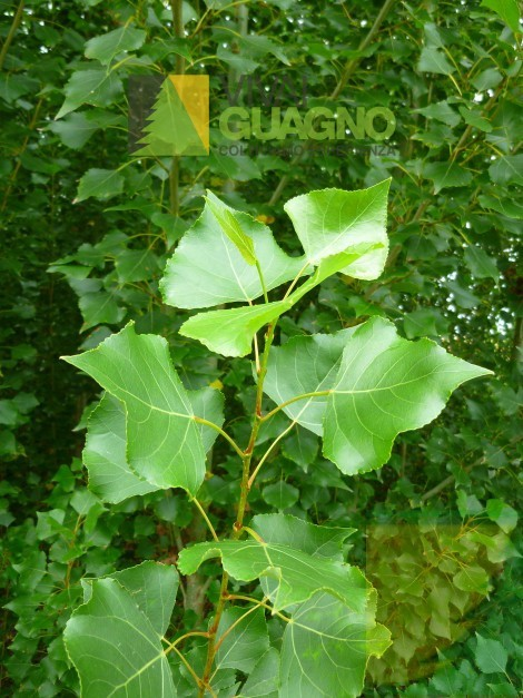 """Populus nigra """"Italica"""""""