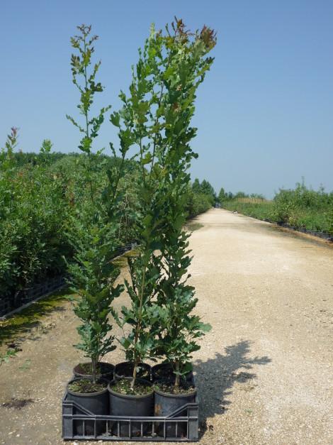 """Quercus robur """"Fastigiata"""""""