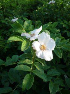 rosa rugosa alba SIEPE DIFENSIVA ANTINTRUSIONE