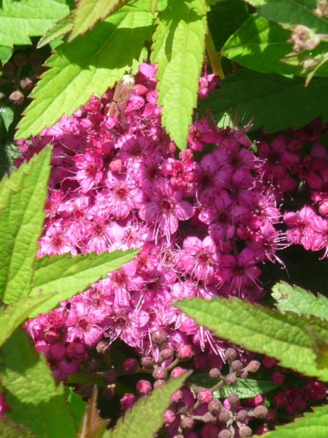 "Spiraea japonica ""Anthony Waterer"""