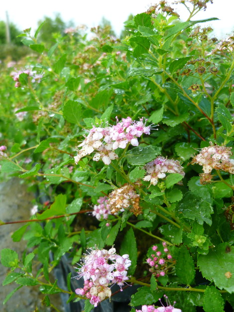 "Spiraea japonica ""Little Princess"""