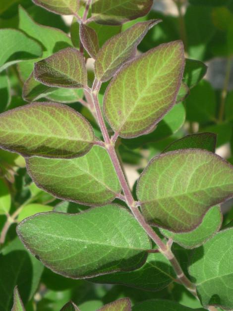 Symphoricarpos orbiculatus piante mellifere