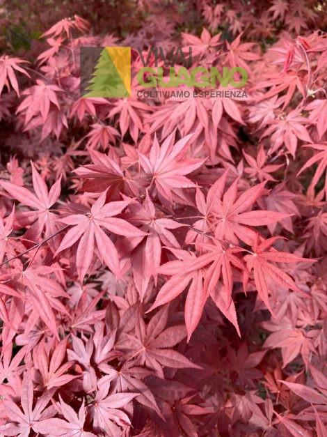 "Acer palmatum ""Bloodgood"""