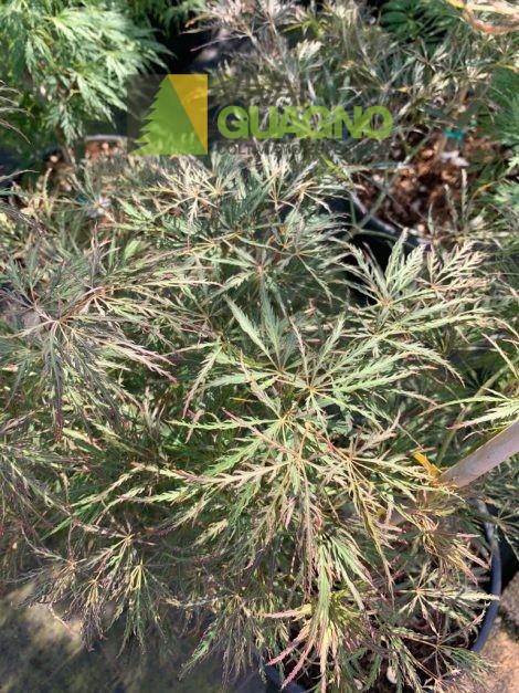 """Acer palmatum """"Dissectum Ornatum"""""""