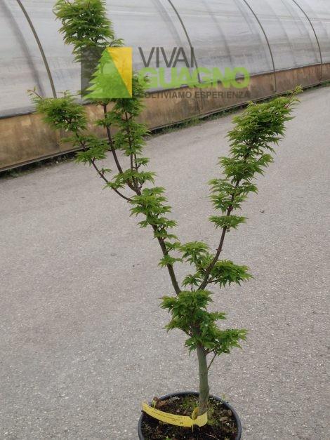 """Acer palmatum """"Crispifolium"""""""
