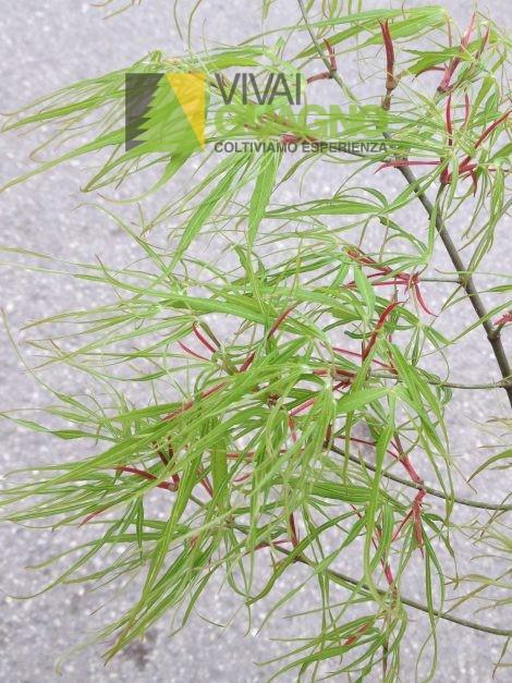 "Acer palmatum ""Koto no ito"""