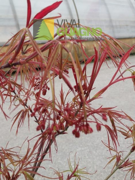 "Acer palmatum ""Red Pygmy"""