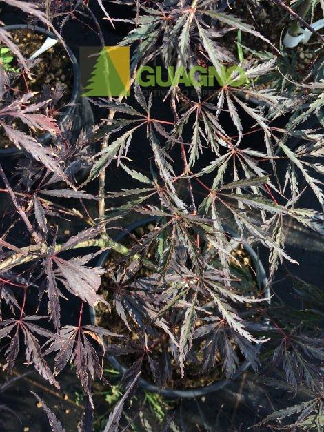 """Acer palmatum """"Dissectum Inaba Shidare"""""""