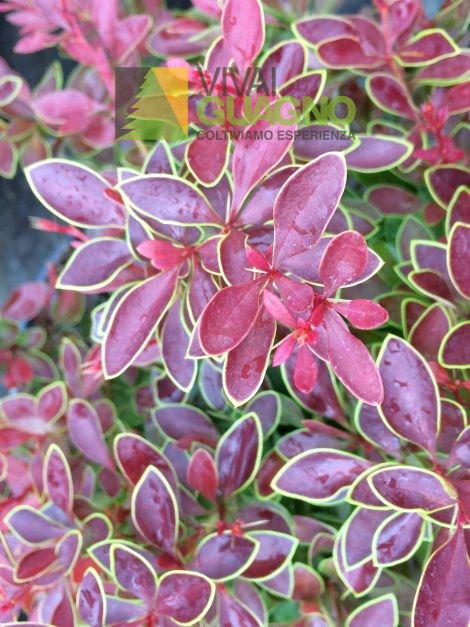 "Berberis thunbergii f. atropurpurea ""Admiration"""