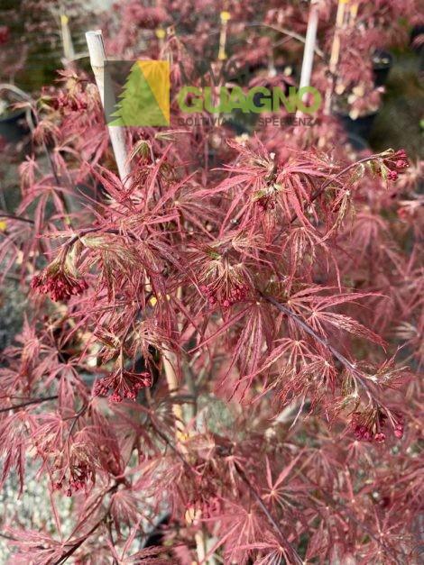 """Acer palmatum """"Dissectum Nigrum"""""""