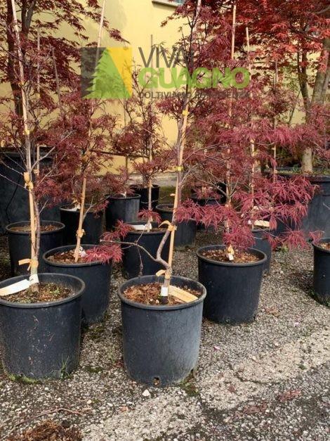 """Acer palmatum """"Dissectum Stella Rossa"""""""