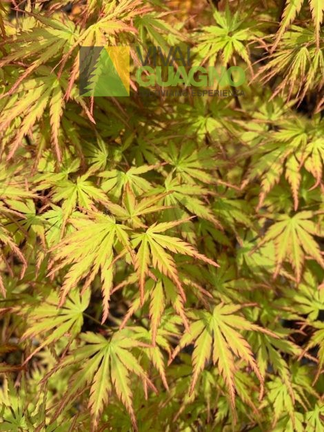"""Acer palmatum """"Harusame"""""""
