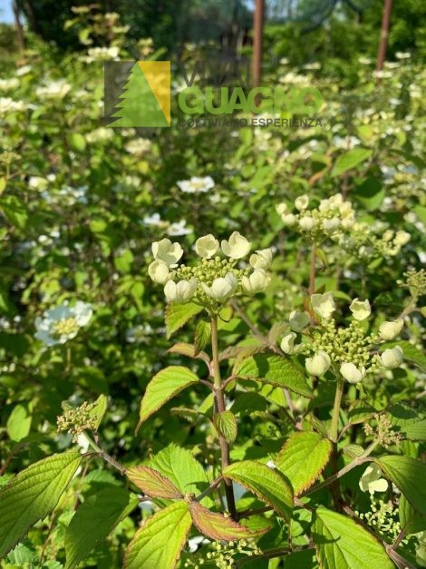 """Viburnum plicatum """"Summer Snowflake"""""""