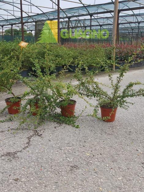"Cotoneaster x suecicus ""Coral Beauty"""