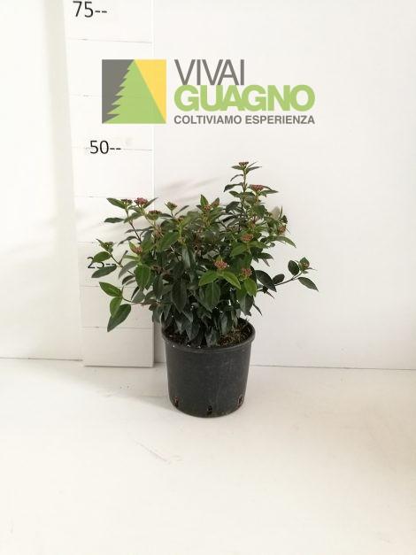 """Viburnum tinus """"Eve Price"""""""