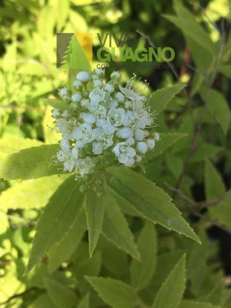 "Spiraea japonica ""Albiflora"""