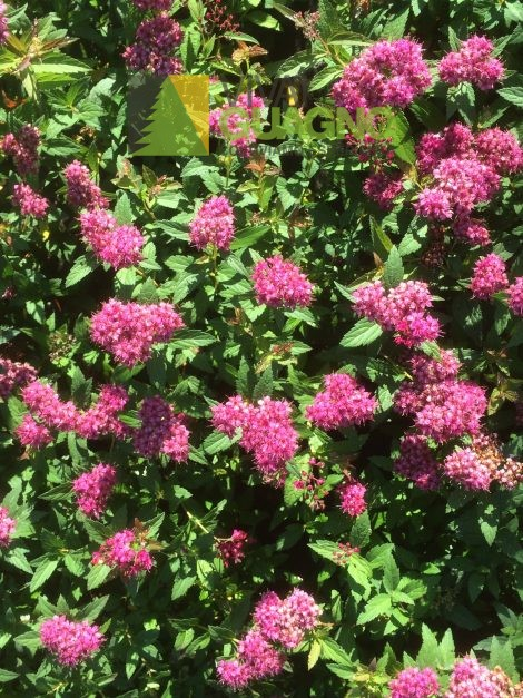 "Spiraea japonica ""Dart's Red"""