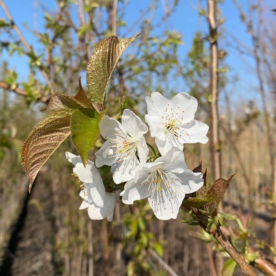 prunus avium fiore bianco mellifere