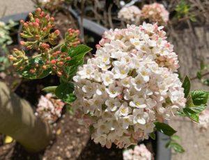 viburnum burkwoodi anne russel