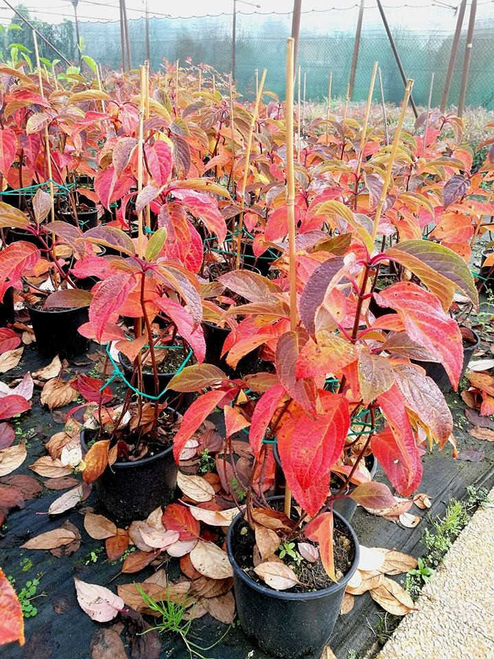 "Hydrangea paniculata ""Wim's Red®"" ortensia paniculata"