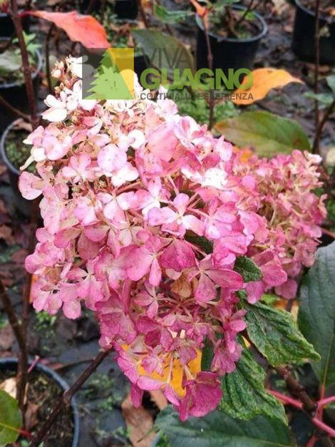 """Hydrangea paniculata """"Vanille Fraise®"""""""