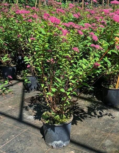 piante di spirea SPIRAEA FROEBELLI
